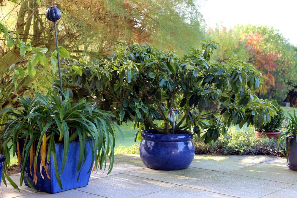 Sichtschutz aus Kübelpflanzen